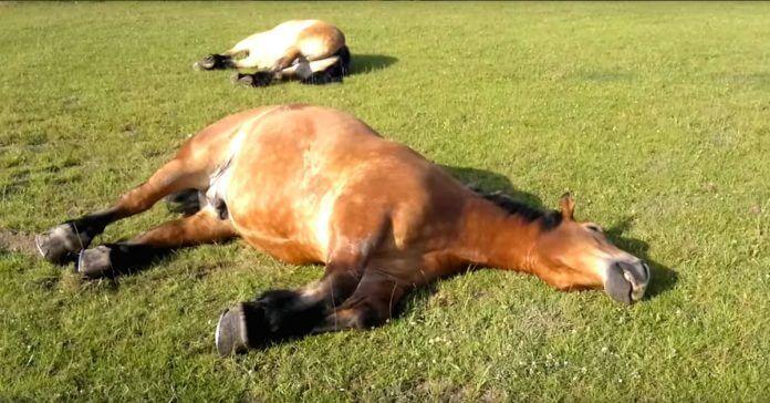 caballo durmiendo