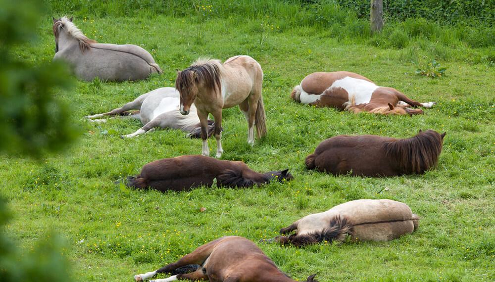 caballos durmiendo