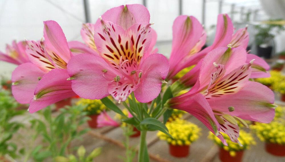 flor de 15 inta