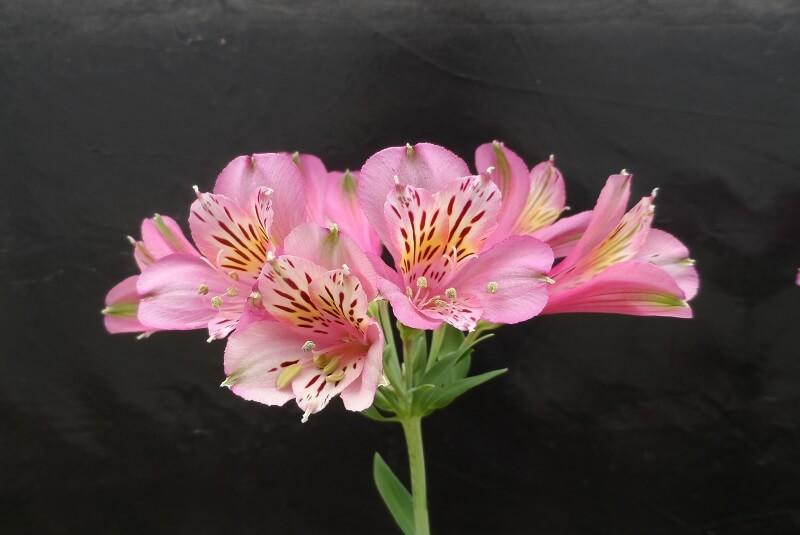 flor rosada del inta