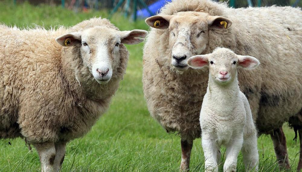 oveja cordero