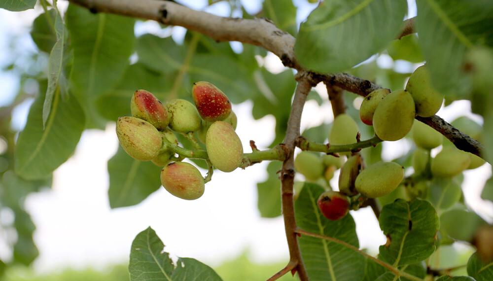 árbol de pistacho