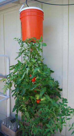 balde con planta de tomate