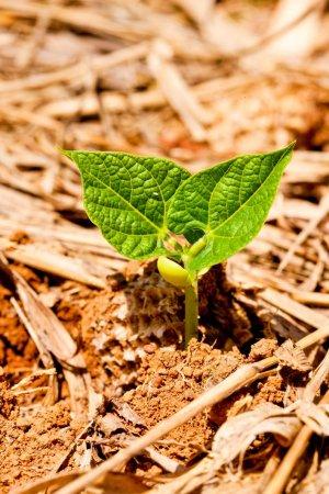planta poroto
