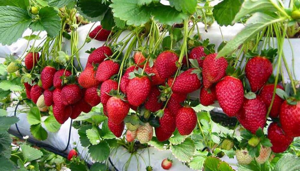 hidroponia frutillas