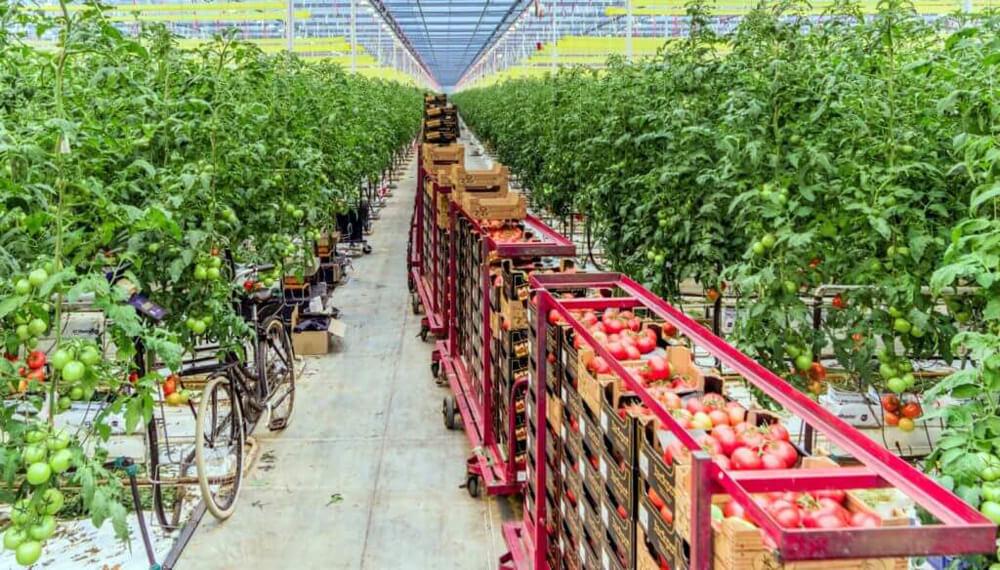 tomates holanda