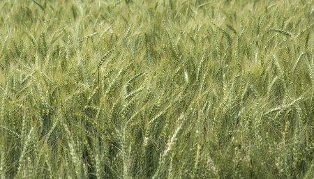 maiz infocampo