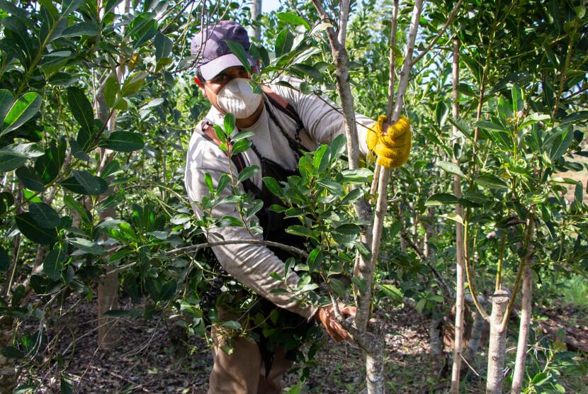 hombre con barbijo cosechando yerba mate