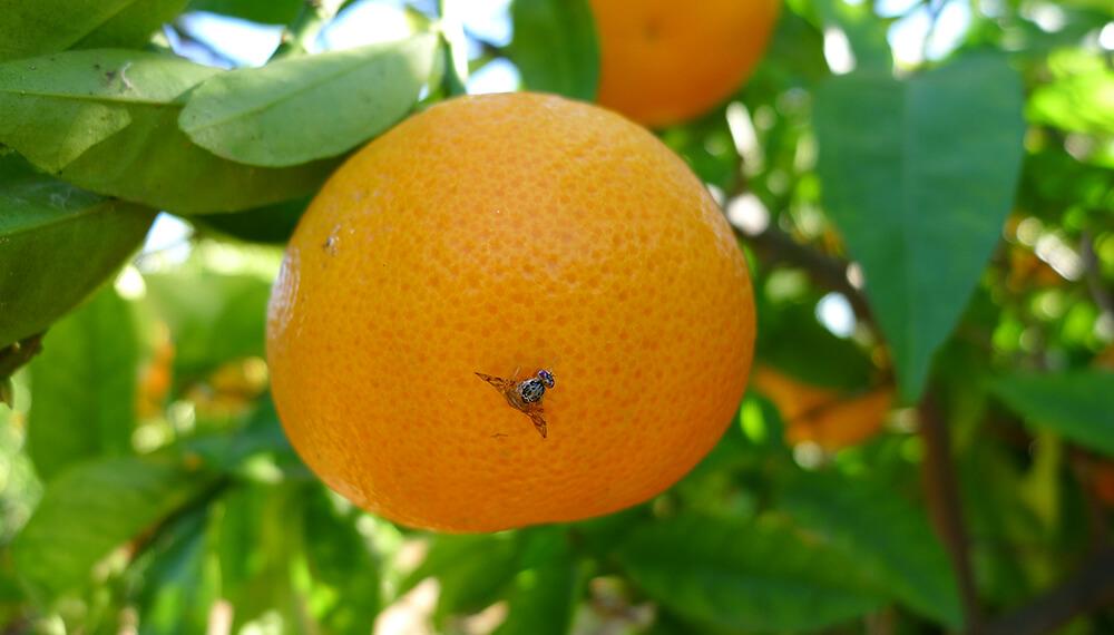 naranja con mosca de los frutos