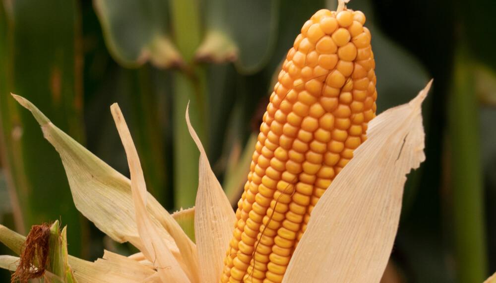Maiz - Espiga - NK Semillas