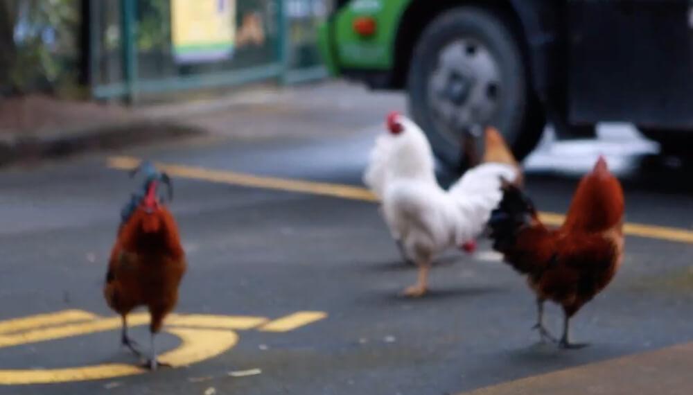 Nueva Zelanda - Gallinas salvajes