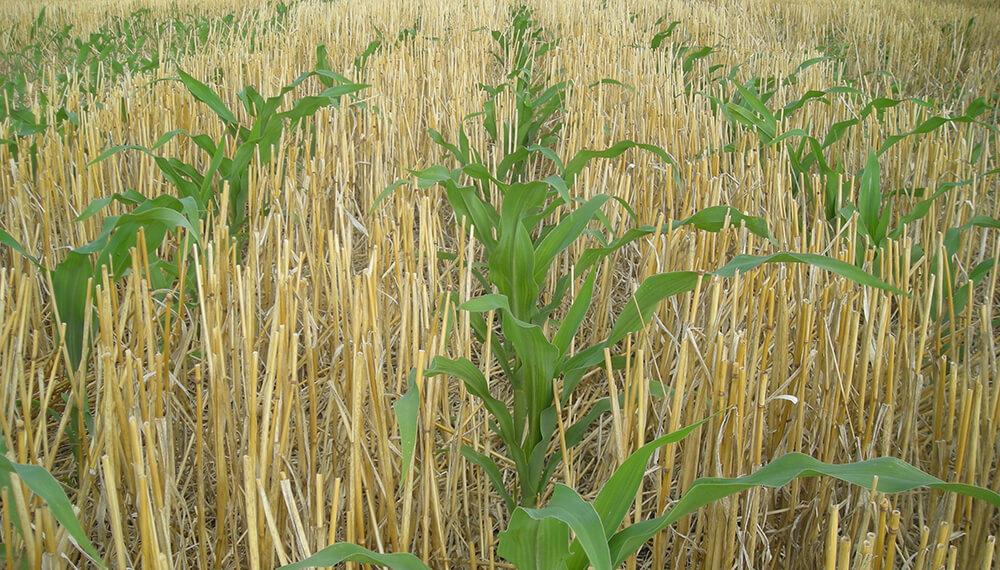 Rotaciones - Maiz sobre trigo