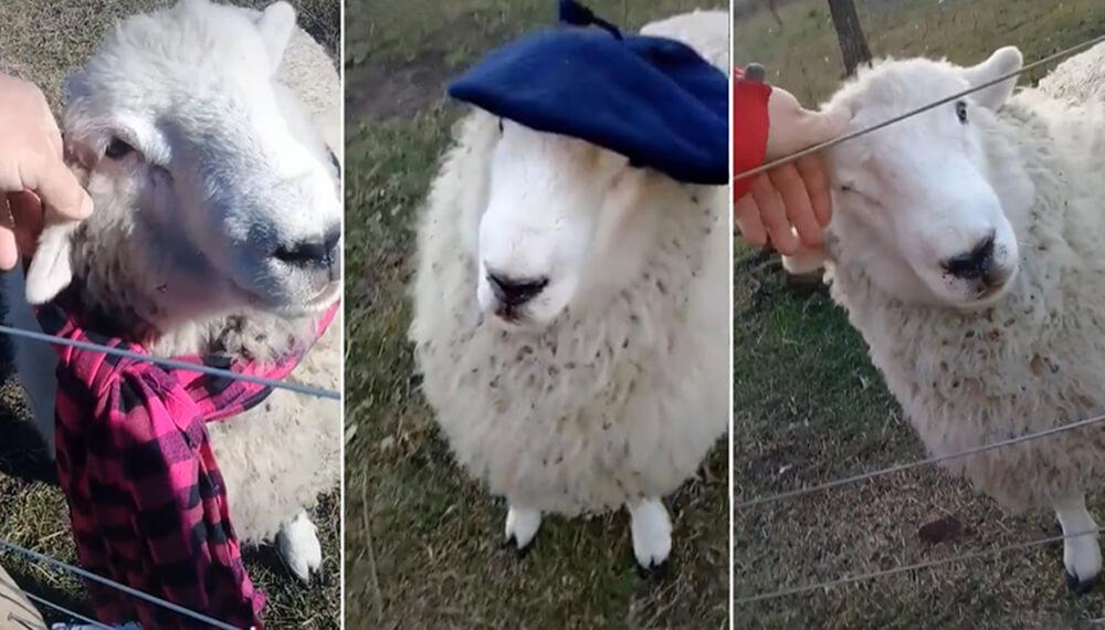 oveja con bufanda