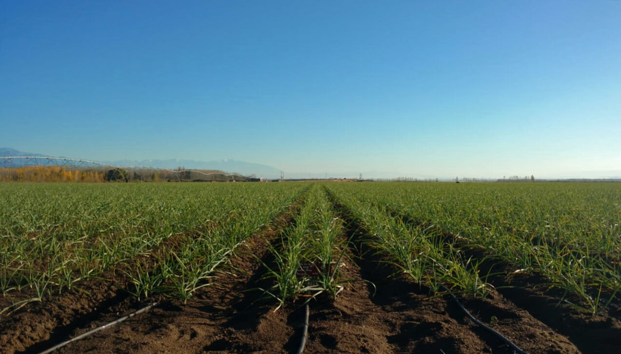 cultivo de ajo