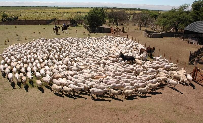 ovejas patagonia
