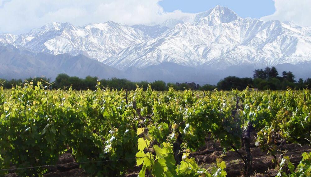 montañas con nieve y viñedo