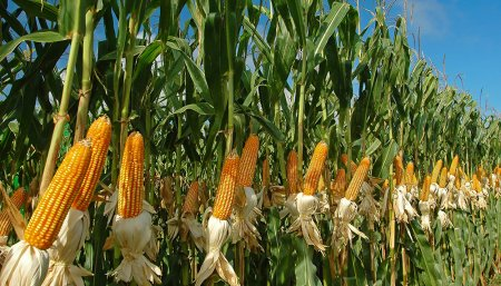 Agricultura - Campo - Soja
