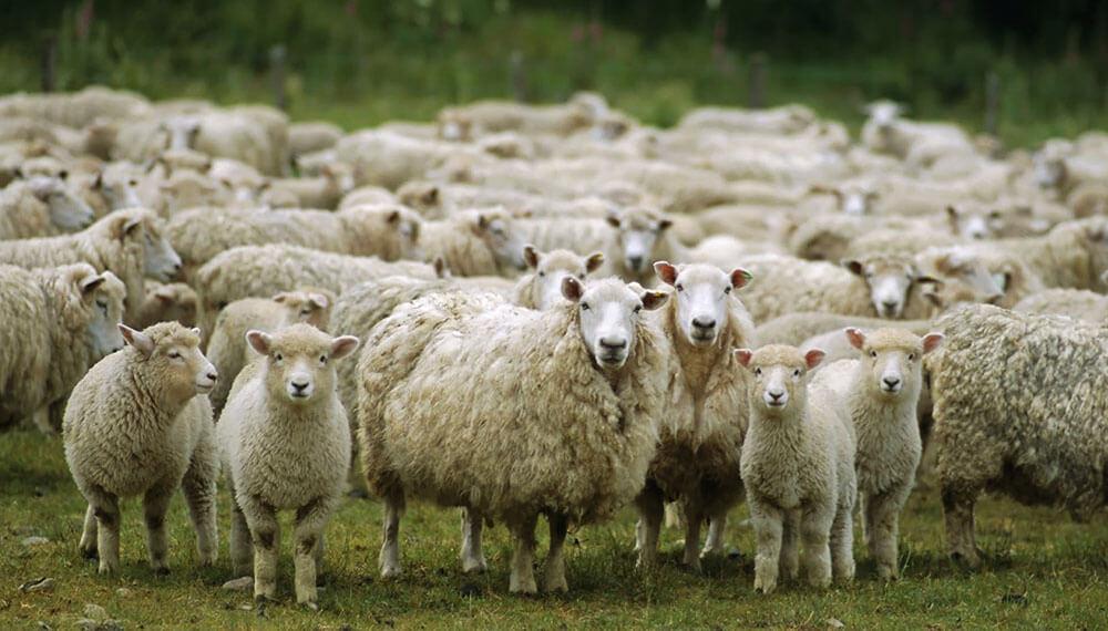 ovinos ovejas corderos