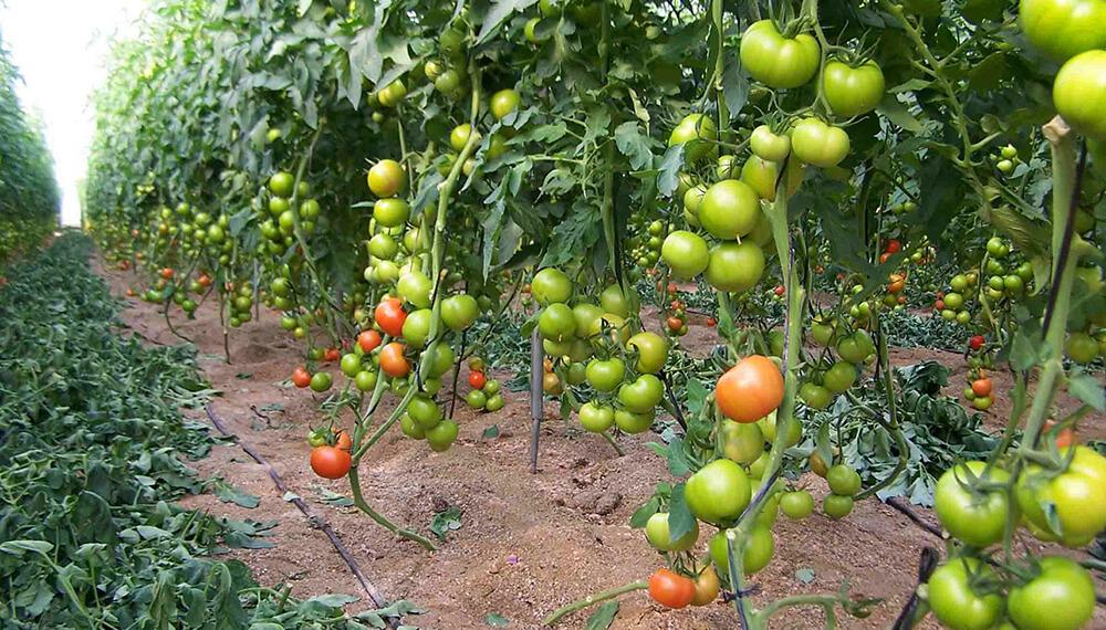 tomate invernadero
