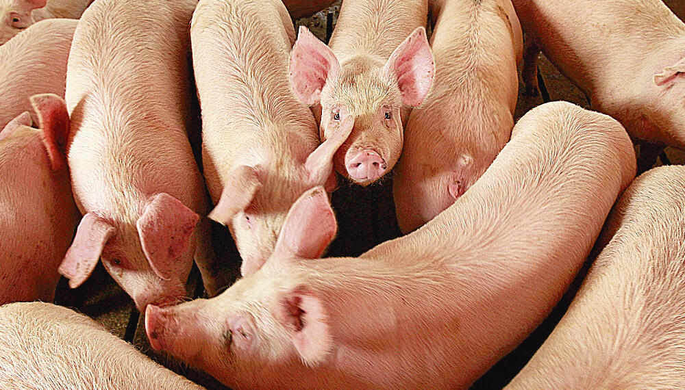 Granja de cerdos - Cerdos - Porcinos