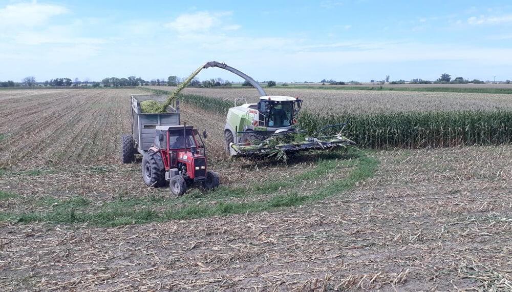 Picado de silo de maíz
