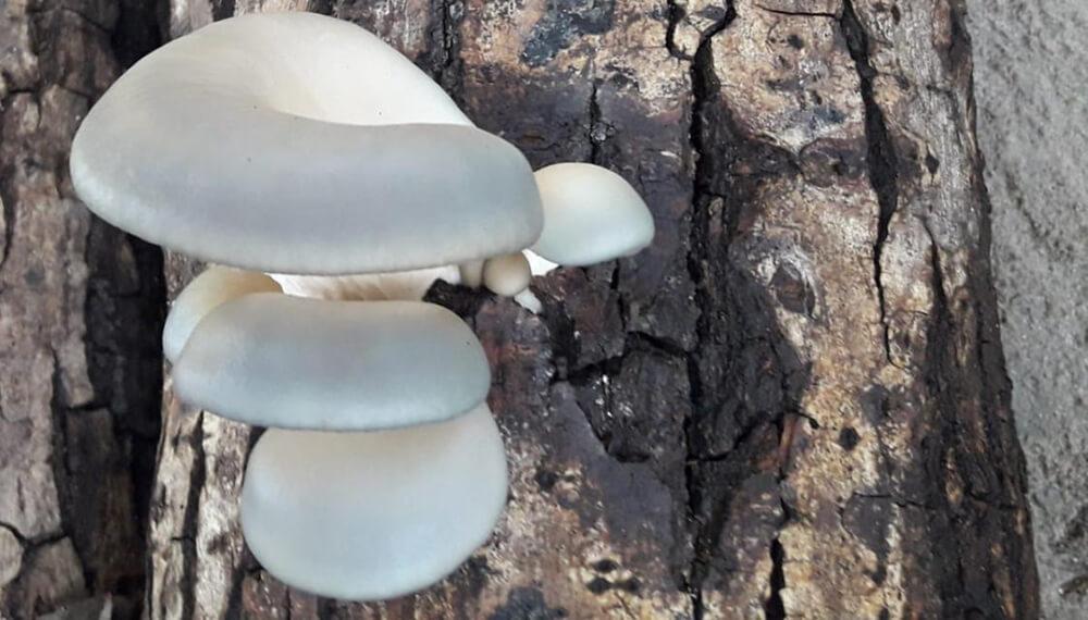Producción de hongos - Gírgolas