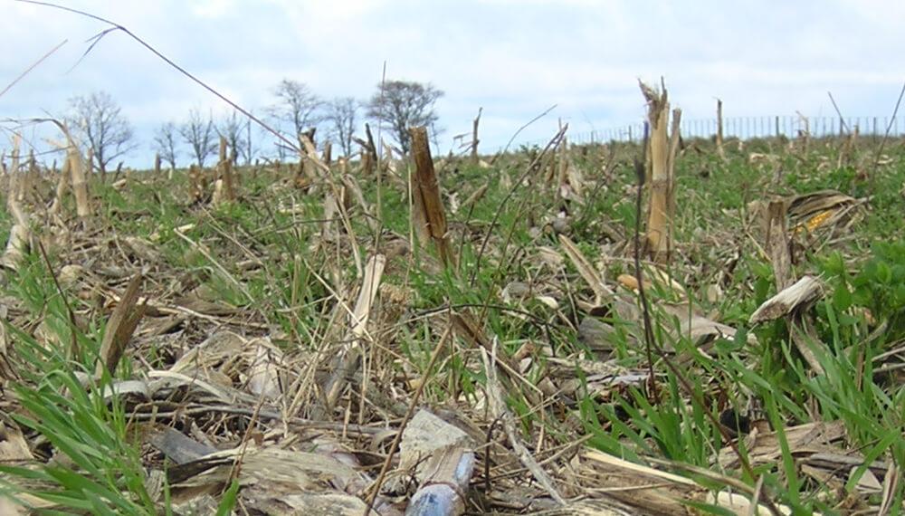 Lote de trigo sembrado sobre maiz