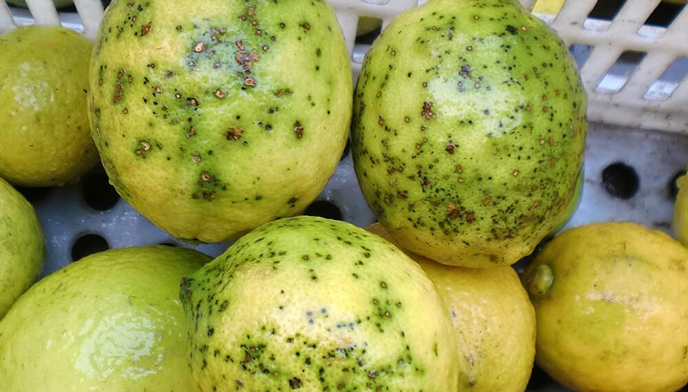 limon mancha negra