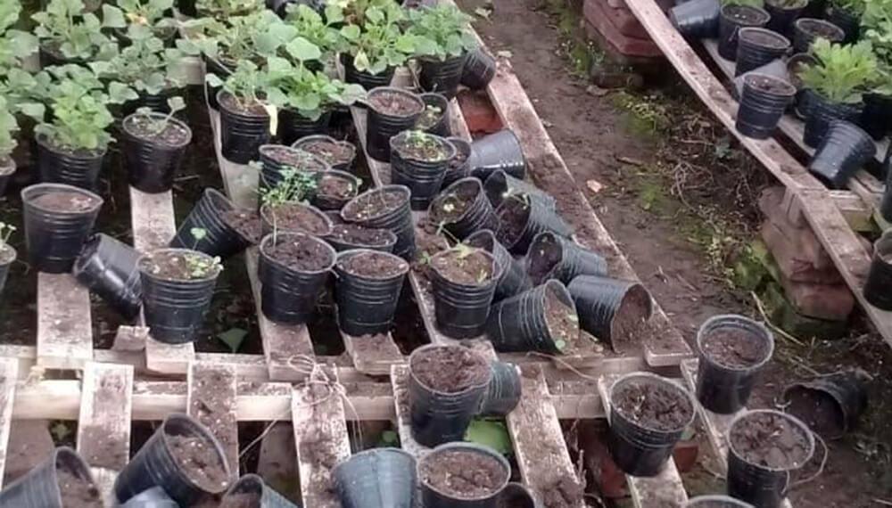 robos plantines