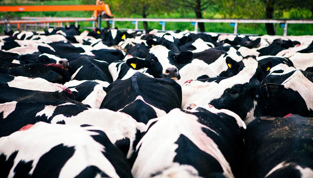 tambo vacas
