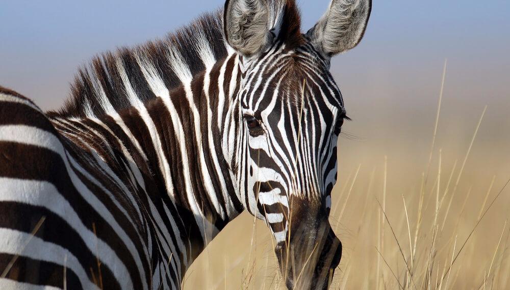 La FAUBA clono cebras