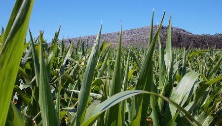 rastrojo maíz