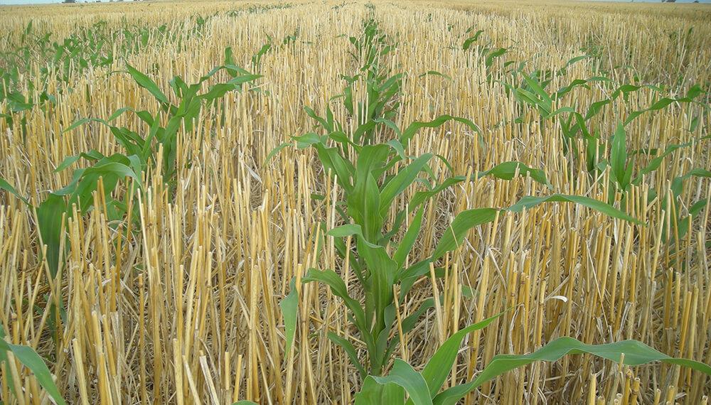 Maiz creciendo sobre rastrojo de trigo