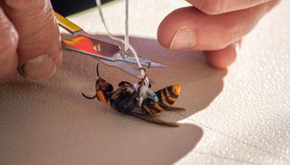 Capturaron al avispón gigante asiático