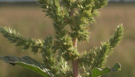 _Trigo - Semilla - Tratamiento de semilla