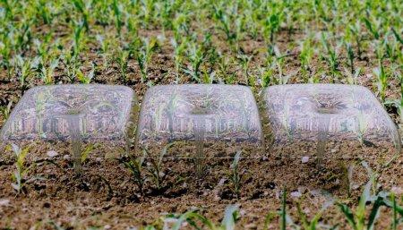 cultivo sorgo