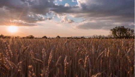 siembra trigo