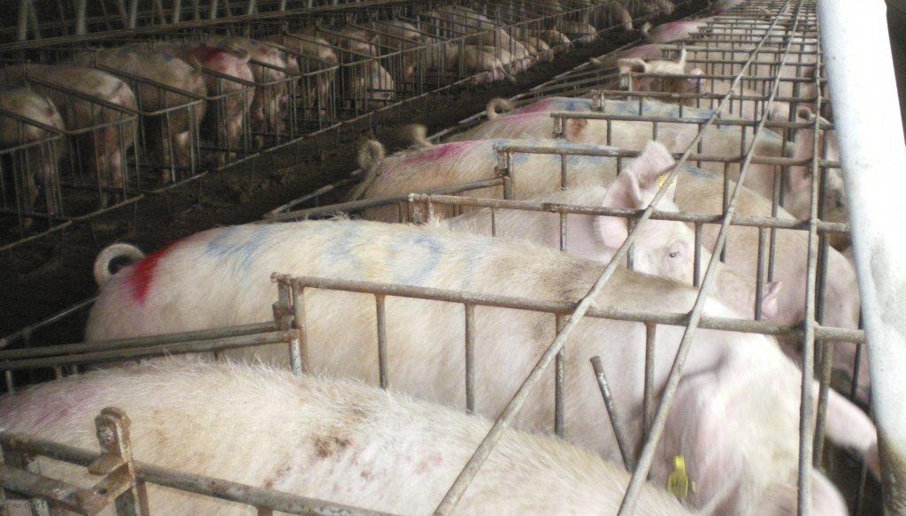 Carlos-tejedor-frigorifico-porcino