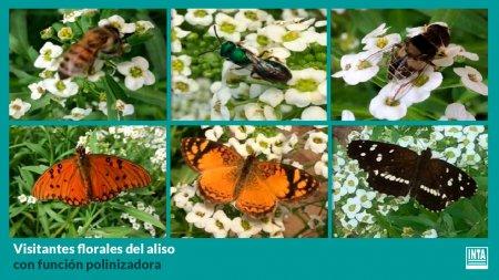 aliso-planta-insectario
