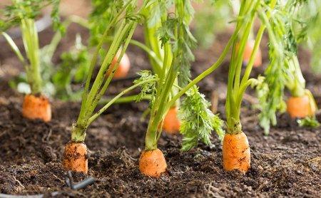 huerta-familiar-zanahoria