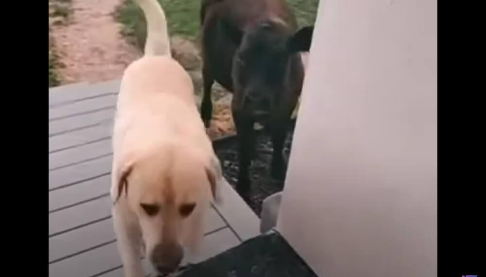 Perro que quiere adoptar a una vaca