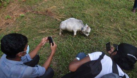 La vaca enana furor en bangladesh