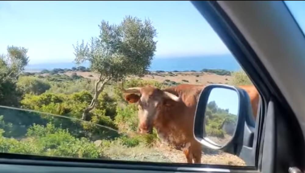 Vaca que indica como llegar a la playa