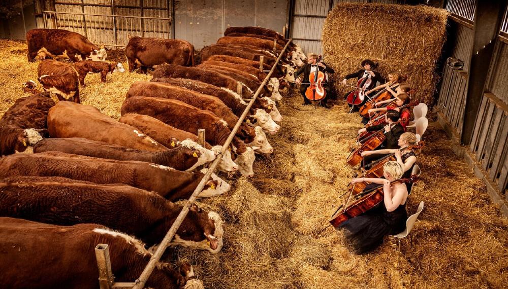 vacas musica