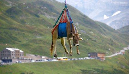 Alpes suizos vacas