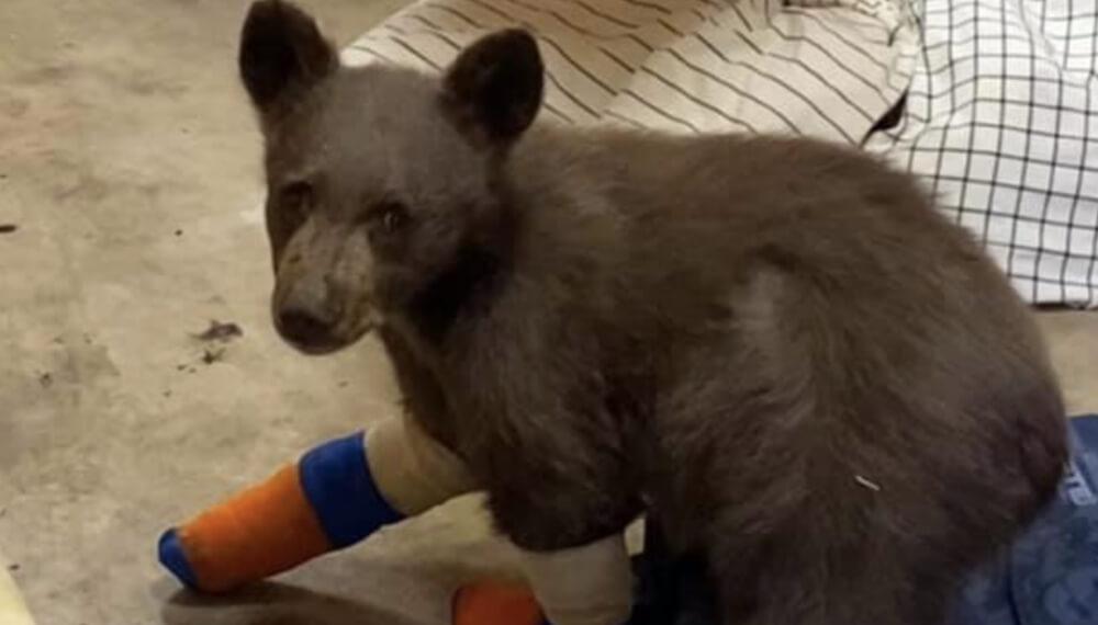 Se escapo un oso en california
