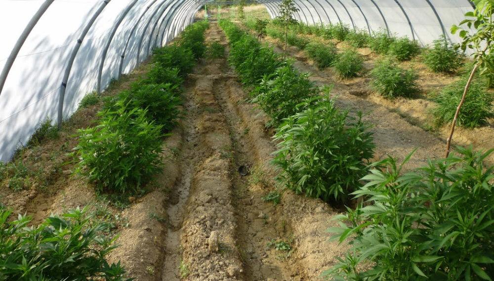 Plantación de cannabis