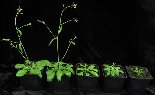 Plantas Arabidopsis thaliana
