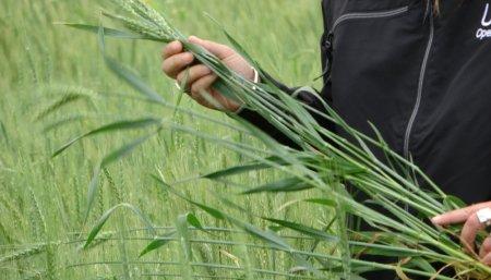 kWs maiz