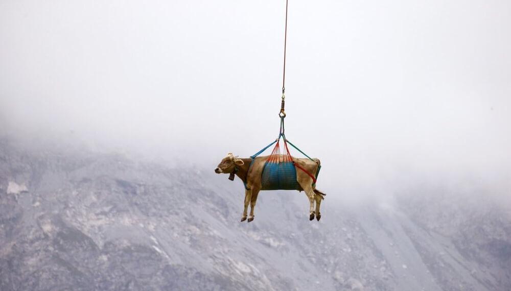 Rescatan vacas en avión